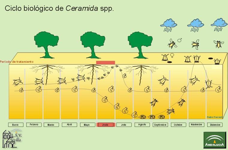 Ceramida Ciclo Biológico