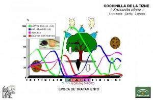 Cochinilla de la Tizne Ciclo Biológico
