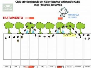 Otiorrinco Ciclo Biológico